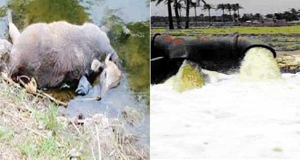 تلوث النيل1