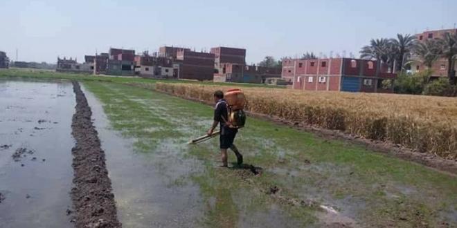 العسكر يعدمون الأراضي المزروعة أرزًا بمبيدات قاتلة